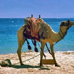 Animal-Camel-Beach-ssh3